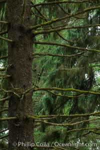 Unidentified tree, Redwood National Park