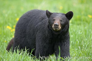 Black bear walking in a grassy meadow.  Black bears can live 25 years or more, and range in color from deepest black to chocolate and cinnamon brown.  Adult males typically weigh up to 600 pounds.  Adult females weight up to 400 pounds and reach sexual maturity at 3 or 4 years of age.  Adults stand about 3&#39; tall at the shoulder, Ursus americanus, Orr, Minnesota