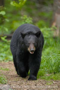 Black bear walking in a forest.  Black bears can live 25 years or more, and range in color from deepest black to chocolate and cinnamon brown.  Adult males typically weigh up to 600 pounds.  Adult females weight up to 400 pounds and reach sexual maturity at 3 or 4 years of age.  Adults stand about 3&#39; tall at the shoulder, Ursus americanus, Orr, Minnesota