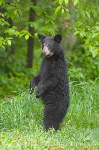 American black bear standing in meadow, Ursus americanus, Orr, Minnesota
