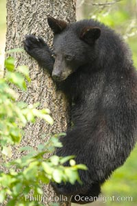 Black bears are expert tree climbers, and are often seen leaning on trees or climbing a little ways up simply to get a better look around their surroundings, Ursus americanus, Orr, Minnesota