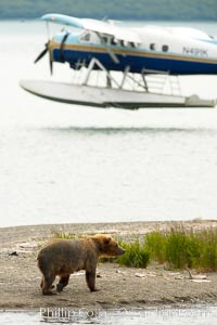 Floatplane lands on Brooks Lake near a brown bear (grizzly bear), Ursus arctos, Katmai National Park, Alaska