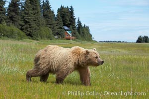 Coastal brown bear (grizzly bear) walks sedge grass meadow near Silver Salmon Creek, Ursus arctos, Lake Clark National Park, Alaska