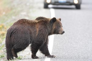 Grizzly bear crosses a road in front of a car.  Dozens of coyotes, wolves, bears, elk and bison are killed each year in Yellowstone as they attempt to cross the roads in front of drivers who are not paying attention or speeding, Ursus arctos horribilis, Lamar Valley, Yellowstone National Park, Wyoming