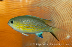 Vanderbilts chromis., Chromis vanderbilti, natural history stock photograph, photo id 09440