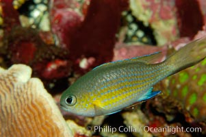 Vanderbilts chromis., Chromis vanderbilti, natural history stock photograph, photo id 09441