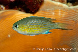 Vanderbilts chromis., Chromis vanderbilti, natural history stock photograph, photo id 09443