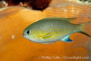 Vanderbilts chromis., Chromis vanderbilti, natural history stock photograph, photo id 09444