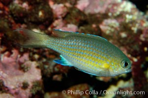 Vanderbilts chromis., Chromis vanderbilti, natural history stock photograph, photo id 09445