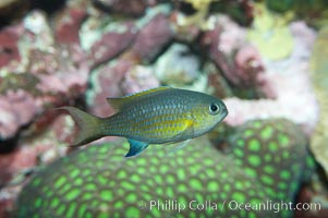 Vanderbilts chromis., Chromis vanderbilti, natural history stock photograph, photo id 11891