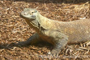 Komodo dragon, the worlds largest lizard, grows to 10 feet (3m) and over 500 pounds.  They have an acute sense of smell and are notorious meat-eaters.  The saliva of the Komodo dragon is deadly, an adaptation to help it more quickly consume its prey, Varanus komodoensis