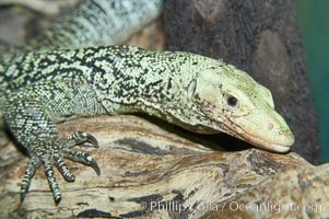 Quince monitor lizard., Varanus melinus, natural history stock photograph, photo id 12621