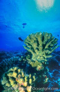 Various hard corals on coral reef, Molokini Crater, Maui