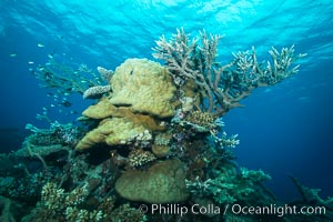 Various hard corals on pristine Fijian coral reef, Vatu I Ra Passage, Bligh Waters, Viti Levu  Island