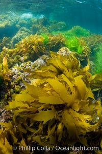 Various species of marine algae, and surfgrass cover the rocky reef, San Clemente Island