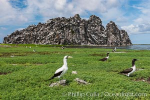 Vegetation, Boobies and Clipperton Rock on Clipperton Island. Clipperton Island, France, natural history stock photograph, photo id 33081