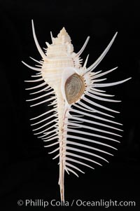 Venus comb murex.  Scientists speculate that the distinctively long and narrow spines are a protection against fish and other mollusks and prevent the mollusk from sinking into the soft, sandy mud where it is commonly found, Murex pecten