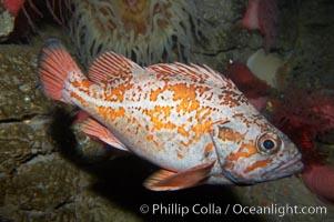 Vermillion rockfish, Sebastes miniatus