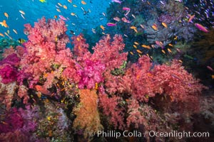 Dendronephthya soft corals and schooling Anthias fishes, feeding on plankton in strong ocean currents over a pristine coral reef. Fiji is known as the soft coral capitlal of the world. Namena Marine Reserve, Namena Island, Fiji, Dendronephthya, Pseudanthias, natural history stock photograph, photo id 31338