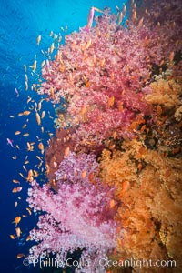 Dendronephthya soft corals and schooling Anthias fishes, feeding on plankton in strong ocean currents over a pristine coral reef. Fiji is known as the soft coral capitlal of the world. Vatu I Ra Passage, Bligh Waters, Viti Levu  Island, Fiji, Dendronephthya, Pseudanthias, natural history stock photograph, photo id 31358