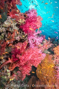 Dendronephthya soft corals and schooling Anthias fishes, feeding on plankton in strong ocean currents over a pristine coral reef. Fiji is known as the soft coral capitlal of the world. Gau Island, Lomaiviti Archipelago, Fiji, Dendronephthya, Pseudanthias, natural history stock photograph, photo id 31379