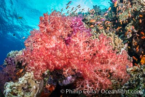 Dendronephthya soft corals and schooling Anthias fishes, on a pristine coral reef. Fiji is known as the soft coral capitlal of the world, Dendronephthya, Pseudanthias, Vatu I Ra Passage, Bligh Waters, Viti Levu  Island