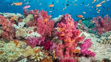 Dendronephthya soft corals and schooling Anthias fishes, feeding on plankton in strong ocean currents over a pristine coral reef. Fiji is known as the soft coral capitlal of the world, Dendronephthya, Pseudanthias, Vatu I Ra Passage, Bligh Waters, Viti Levu  Island