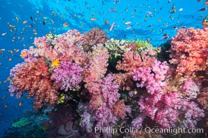 Dendronephthya soft corals and schooling Anthias fishes, feeding on plankton in strong ocean currents over a pristine coral reef. Fiji is known as the soft coral capitlal of the world, Dendronephthya, Pseudanthias, Namena Marine Reserve, Namena Island