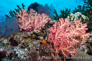 Vibrant colorful soft corals reaching into ocean currents, capturing passing planktonic food, Fiji, Dendronephthya