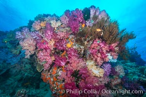 Vibrant colorful soft corals reaching into ocean currents, capturing passing planktonic food, Fiji, Dendronephthya, Nigali Passage, Gau Island, Lomaiviti Archipelago