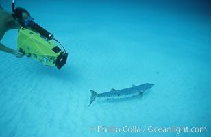 Videographer and barracuda