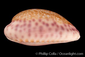 Violet Chinese Cowrie, Cypraea chinensis violacea, natural history stock photograph, photo id 08107