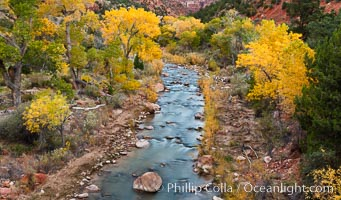 The Virgin River and fall colors, maples and cottonwood trees in autumn, Zion National Park, Utah