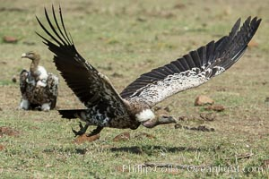 Vulture in flight, greater Maasai Mara, Kenya. Olare Orok Conservancy, Kenya, natural history stock photograph, photo id 30005