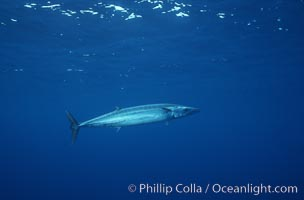 Wahoo (ono), Revilligigedos., Acanthocybium, natural history stock photograph, photo id 05764