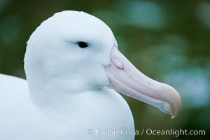 Wandering albatross, on nest and the Prion Island colony.  The wandering albatross has the largest wingspan of any living bird, with the wingspan between, up to 12&#39; from wingtip to wingtip. It can soar on the open ocean for hours at a time, riding the updrafts from individual swells, with a glide ratio of 22 units of distance for every unit of drop. The wandering albatross can live up to 23 years. They hunt at night on the open ocean for cephalopods, small fish, and crustaceans. The survival of the species is at risk due to mortality from long-line fishing gear, Diomedea exulans
