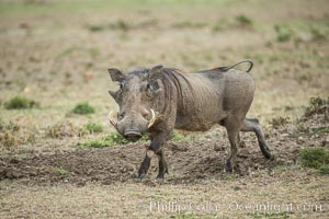 Warthog, Maasai Mara National Reserve, Kenya, Phacochoerus africanus, Olare Orok Conservancy