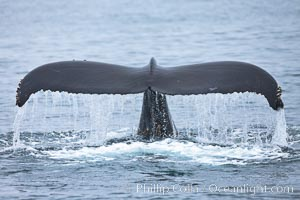 Water falling from the fluke (tail) of a humpback whale as the whale dives to forage for food in the Santa Barbara Channel. Santa Rosa Island, California, USA, Megaptera novaeangliae, natural history stock photograph, photo id 27029