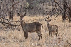 Waterbuck, Meru National Park, Kenya, Kobus ellipsiprymnus
