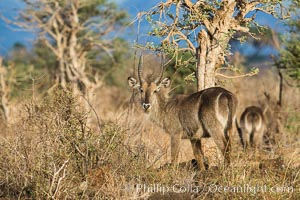 Waterbuck, Meru National Park, Kenya. Meru National Park, Kenya, Kobus ellipsiprymnus, natural history stock photograph, photo id 29684