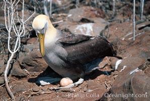 Waved albatross, Punta Suarez, Diomedea irrorata, Phoebastria irrorata, Hood Island