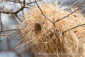 Weaver bird nest, Amboseli National Park, Kenya