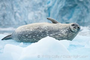 Weddell seal in Antarctica.  The Weddell seal reaches sizes of 3m and 600 kg, and feeds on a variety of fish, krill, squid, cephalopods, crustaceans and penguins, Leptonychotes weddellii, Cierva Cove