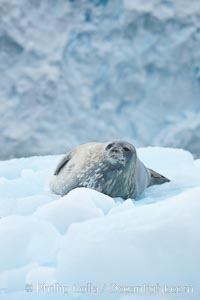 Weddell seal in Antarctica.  The Weddell seal reaches sizes of 3m and 600 kg, and feeds on a variety of fish, krill, squid, cephalopods, crustaceans and penguins. Cierva Cove, Antarctic Peninsula, Antarctica, Leptonychotes weddellii, natural history stock photograph, photo id 25521