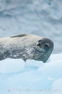 Weddell seal in Antarctica.  The Weddell seal reaches sizes of 3m and 600 kg, and feeds on a variety of fish, krill, squid, cephalopods, crustaceans and penguins. Cierva Cove, Antarctic Peninsula, Antarctica, Leptonychotes weddellii, natural history stock photograph, photo id 25566