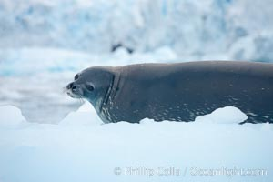 Weddell seal in Antarctica.  The Weddell seal reaches sizes of 3m and 600 kg, and feeds on a variety of fish, krill, squid, cephalopods, crustaceans and penguins. Cierva Cove, Antarctic Peninsula, Antarctica, Leptonychotes weddellii, natural history stock photograph, photo id 25570