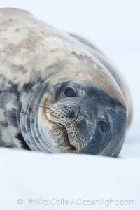 Weddell seal in Antarctica.  The Weddell seal reaches sizes of 3m and 600 kg, and feeds on a variety of fish, krill, squid, cephalopods, crustaceans and penguins, Leptonychotes weddellii, Neko Harbor
