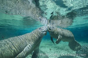 West Indian manatee. Three Sisters Springs, Crystal River, Florida, USA, Trichechus manatus, natural history stock photograph, photo id 02623
