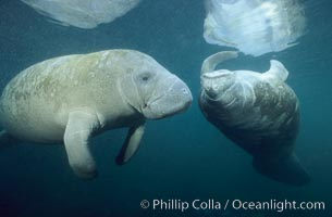 West Indian manatee. Three Sisters Springs, Crystal River, Florida, USA, Trichechus manatus, natural history stock photograph, photo id 02627