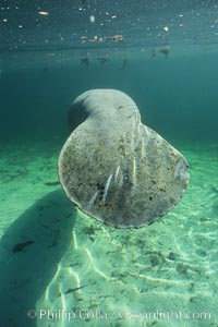 West Indian manatee, Trichechus manatus, Three Sisters Springs, copyright Phillip Colla Natural History Photography, www.oceanlight.com, image #02650, all rights reserved worldwide.